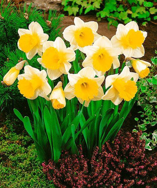 Trubkovité narcisy ´Goblet´. Tyto narcisy se hodí také pro pěstování v květináči. Předpěstujte si jarní ozdobu Vašeho balkonu! Stanoviště: plné slunce - polostín. Doba kvetení: duben, výška: asi 35 cm, k řezu.