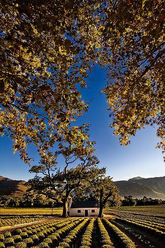 'n Bekoorlike ou plaashuisie in die Kaapse Wynlande (Franschhoek).