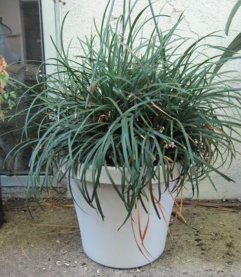 How to Grow and Care for Mondo Grass in Containers