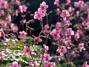 Anemone Robustissima is a lovely shade perennial for the late season garden