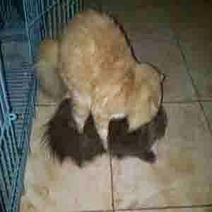 Meeow House: Jasa Pacak kucing Persia
