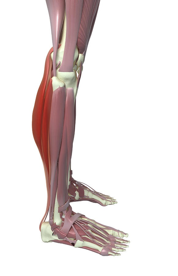 Gastrocnemius And Soleus Muscle Photograph  - Gastrocnemius And Soleus Muscle Fine Art Print