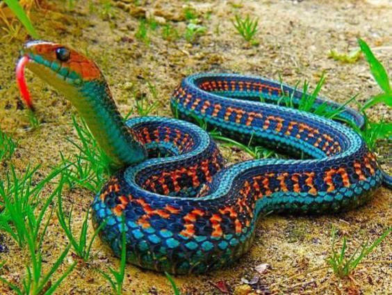 This bad looking boy just isn't so bad as it looks. This is a garter snake -- a California Red Garter Snake. With those markings it almost looks like someone crocheted it!