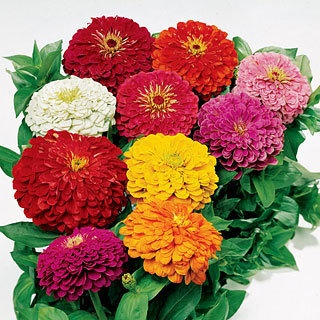 Park Seed's zinnias are strong, fast growing plants with huge blooms in 7 bright colors. These are the easiest annuals to grow with stunning Dahlia-flowered blooms. Zinnias have very long, strong stems, with pompon blooms. They thrive in the sun and heat