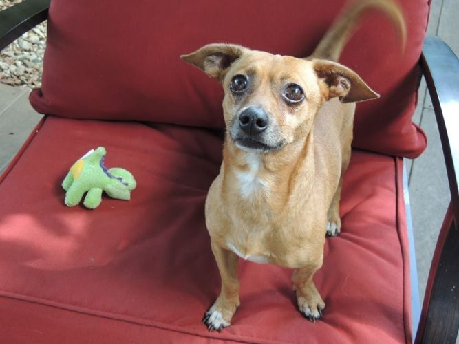Adopt Bert On Petfinder Animal Welfare League Help Homeless Pets Dachshund Mix