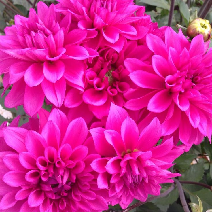 Hot Pink Dahlias At Avonlea Flowers