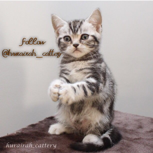 Our sweet kitten boy British shorthair classic tabby  Belong to @hurairah_cattery