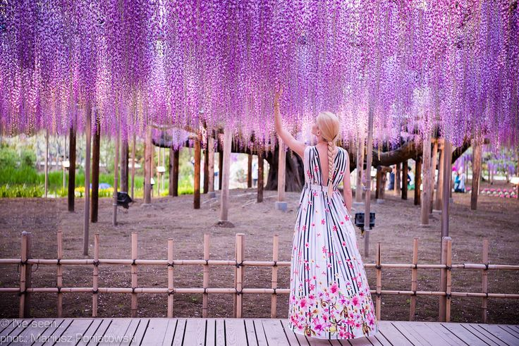 Blooming wisteria trees in Ashikaga Flower Park, Japan Travel to Japan with @iveseen_