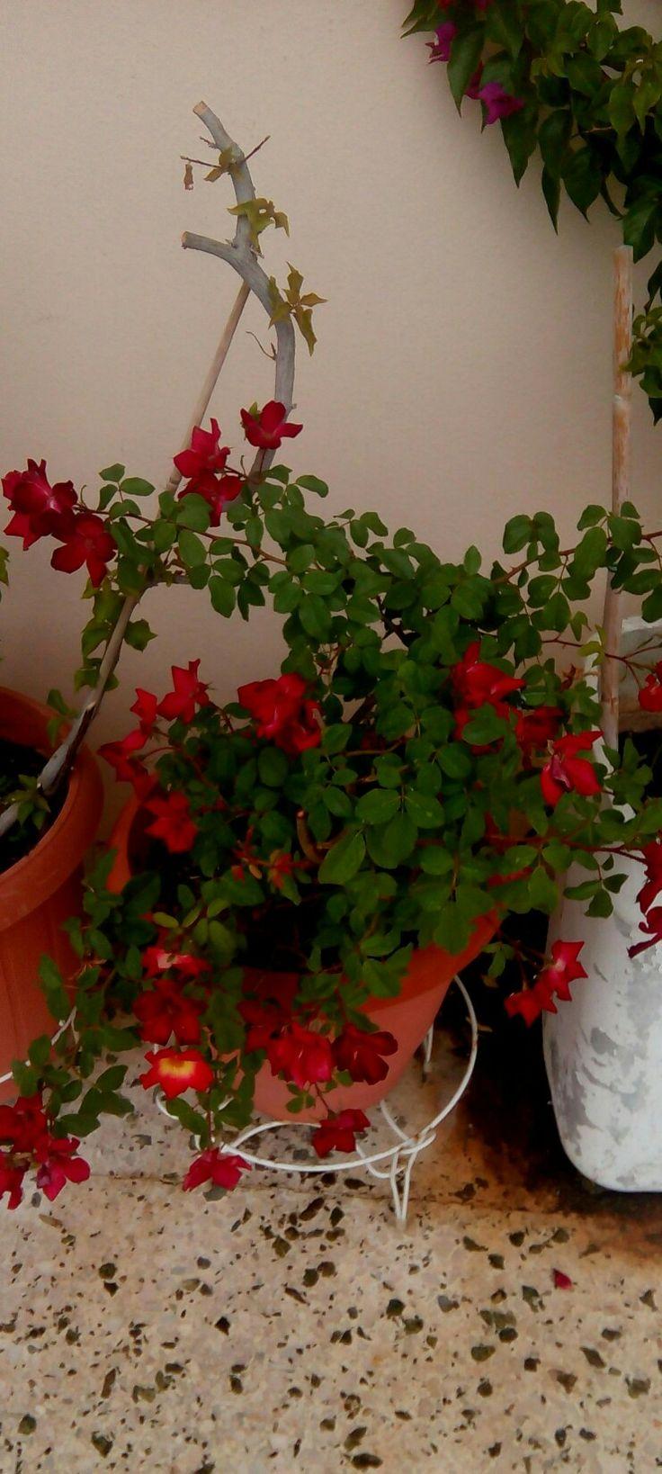 Τριανταφυλλιά αναρριχώμενη κοκτέϊλ(Rosa sp)Υψος :175/ Γλάστρα:10lt Φυλλοβόλο αναρριχώμενο φυτό με μέγιστο ύψος τα 7μ. Ανθοφορεί εντυπωσιακά την άνοιξη. Ευπαθές σε κάποιες ασθένειες.