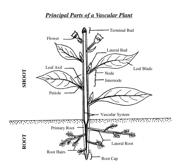 principal parts of a vascular plant  with images