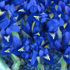 Dwarf Iris, Harmony