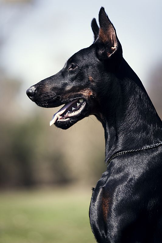 black dog portrait 2 king doberman Doberman's are an example of Power and Beauty! I love these dogs!