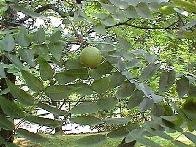 Érdemes szedni pár diófa levelet! Sokféle betegségre használható!
