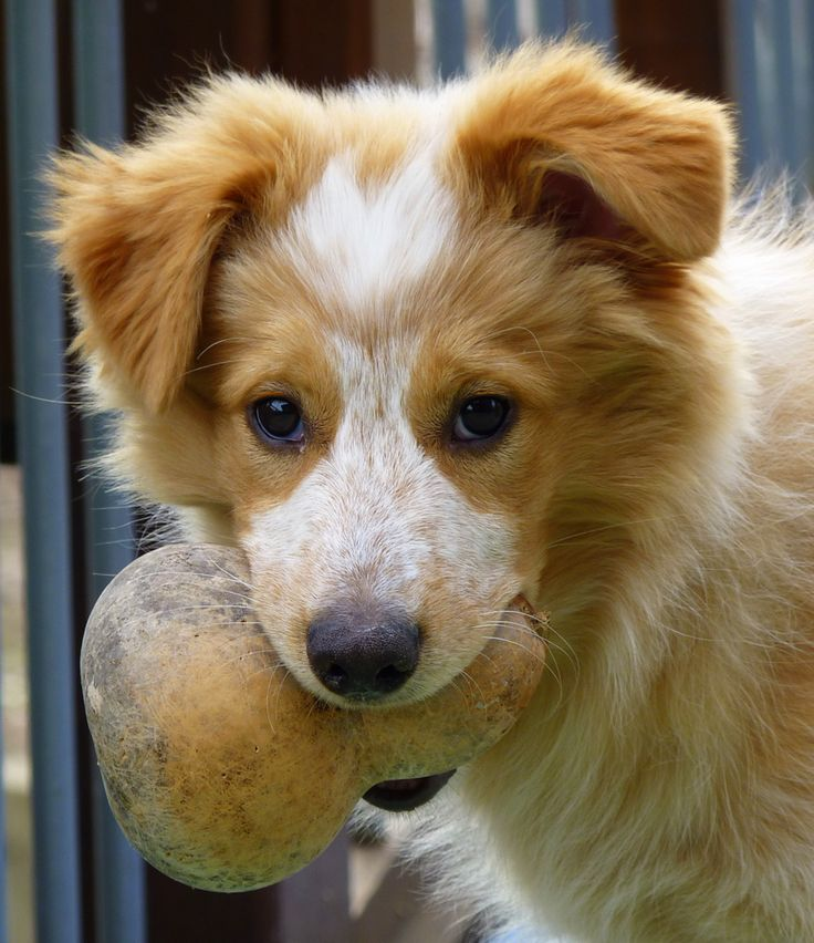 Collie mixes are the best dogs