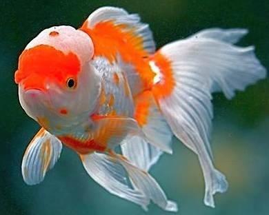 Beautiful Oranda goldfish