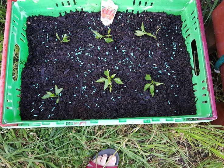 My chilli pepper plants