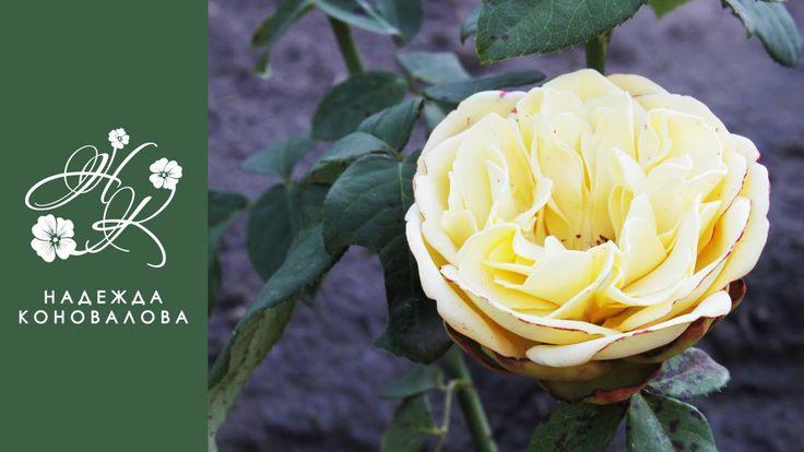 Желтая садовая роза из фоамирана с пышной серединкой по шаблонам лепестк...
