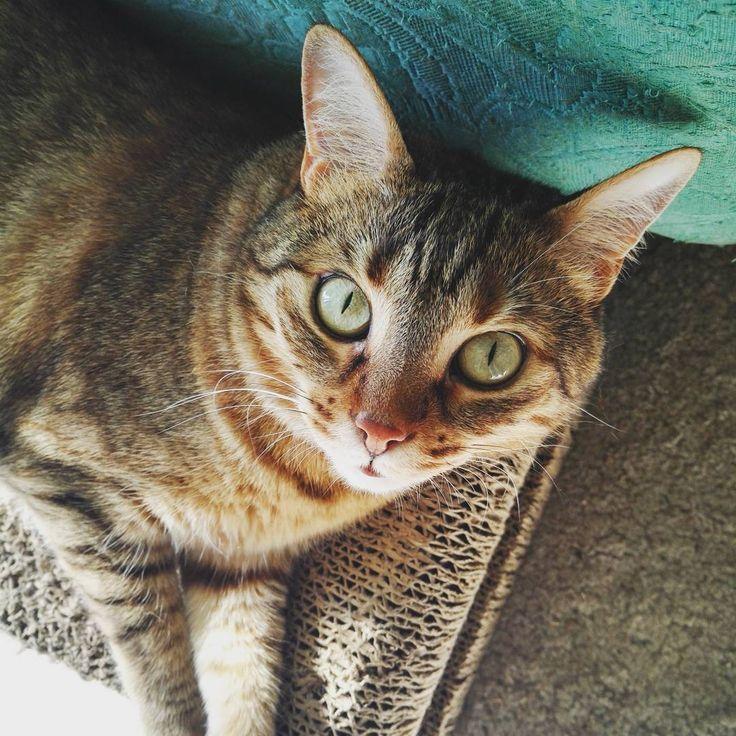 Morning sunbathing! �� #gaia #cat #kitten #kitty #gatto #animal #pet #home #love #lovely #eyes #instapic #pic #instagood #good #instalike #instafollow #like4like #like4follow #likeforlike #likeforfollow #picoftheday #photooftheday #photo #photography #instagram #sun http://tipsrazzi.com/ipost/1510842246797654137/?code=BT3lwTIBvh5