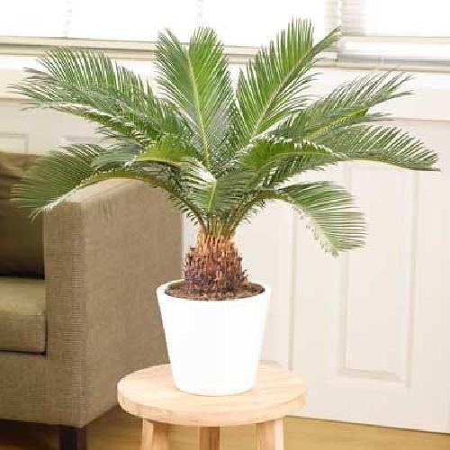 Sago Palm Tree Tropical Plant Indoor Live Outdoor Garden Houseplan Best Gift NEW #Blooms #Custom