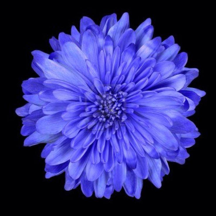 Chrysanthemum flower. My birthday month (November) flower. :)
