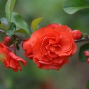 Flowering Quince Double Take Orange Storm