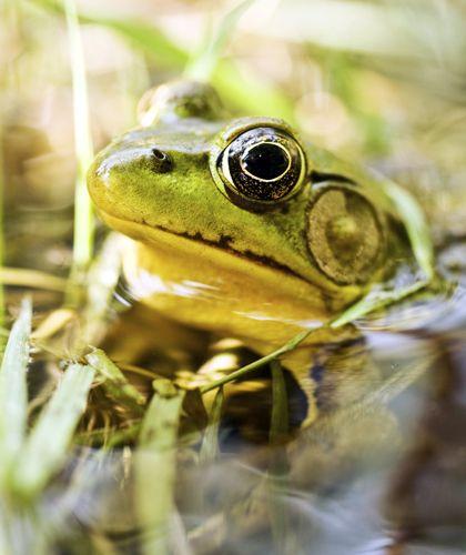 Zonder kikkers in de tuin heb je meer last van muggen en slakken. A frog in a pond. Read the blog about doing research in the garden with children: http://www.tuinieren.nl/tuinnieuws/tuinieren-met-kids/dierenspeurtocht-in-de-tuin.html (Dutch)