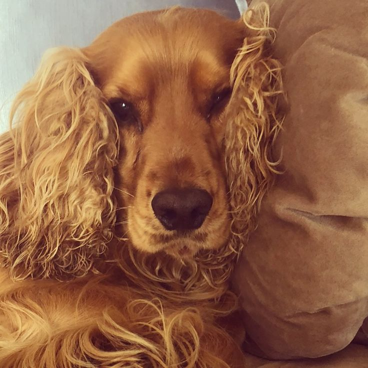 563 best puppies etc images on pinterest beautiful dogs - Free cocker spaniel screensavers ...
