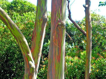 Painted eucalyptus trees- maui