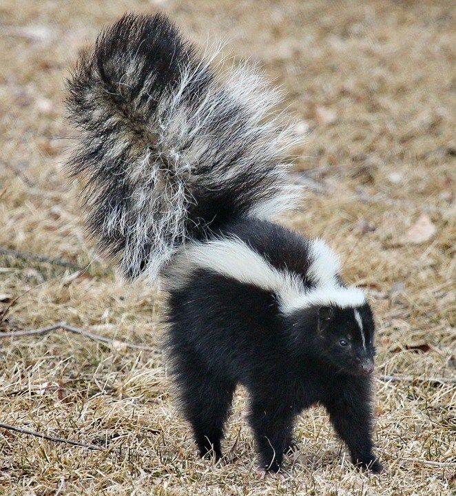 The stinky skunk facts every dog owner needs to know and what supplies to have on hand if your dog gets sprayed. Skunks, Dogs, Stink and Rabies