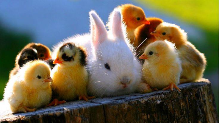 Csibék nyuszival húsvétra