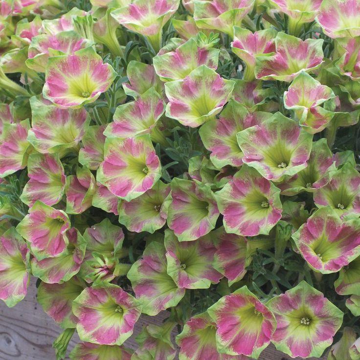 Petunia 'Crazytunia Green with Envy'