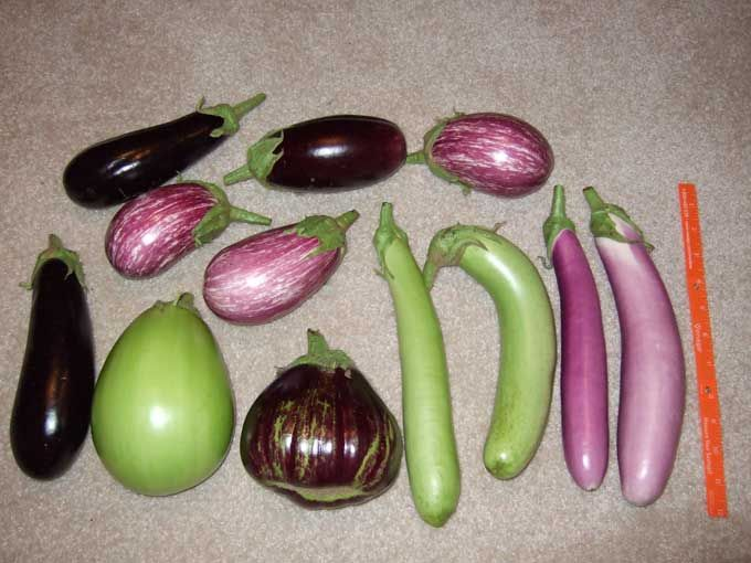 There are several kinds of eggplant and they are easy to grow.  The flowers on most of the plants are a beautiful purple.