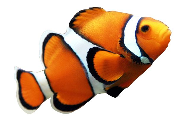 Clown fish pictures realistic clipart from pre masked for Blue clown fish