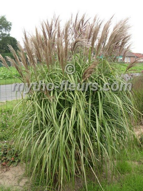 A: Miscanthus malepartus -- this is the grass I gave you that seems to have died :)