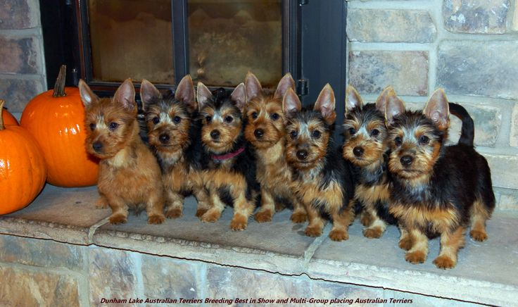 Dunham Lake Australian Terriers- our dog Piper is second from right