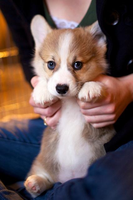 Corgi Puppies 40   – Tiere