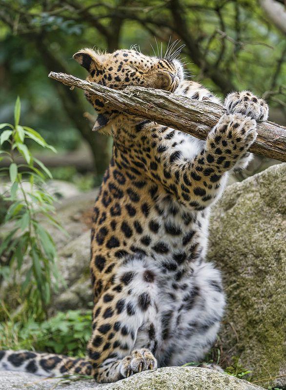 ~~Leopard scratching post ~ male Amur Leopard by Tambako the Jaguar~~