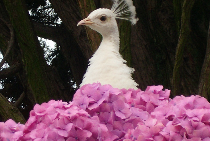 White peacocks: the most famous animals of Isola Bella... like a model!