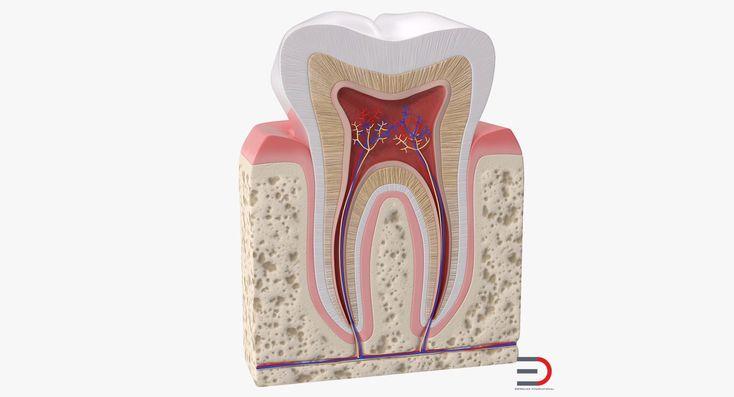 Human Tooth Anatomy 3D model