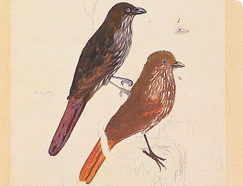 Stephens Island Piopio, Turnagra capensis capensis - George Forster 1773