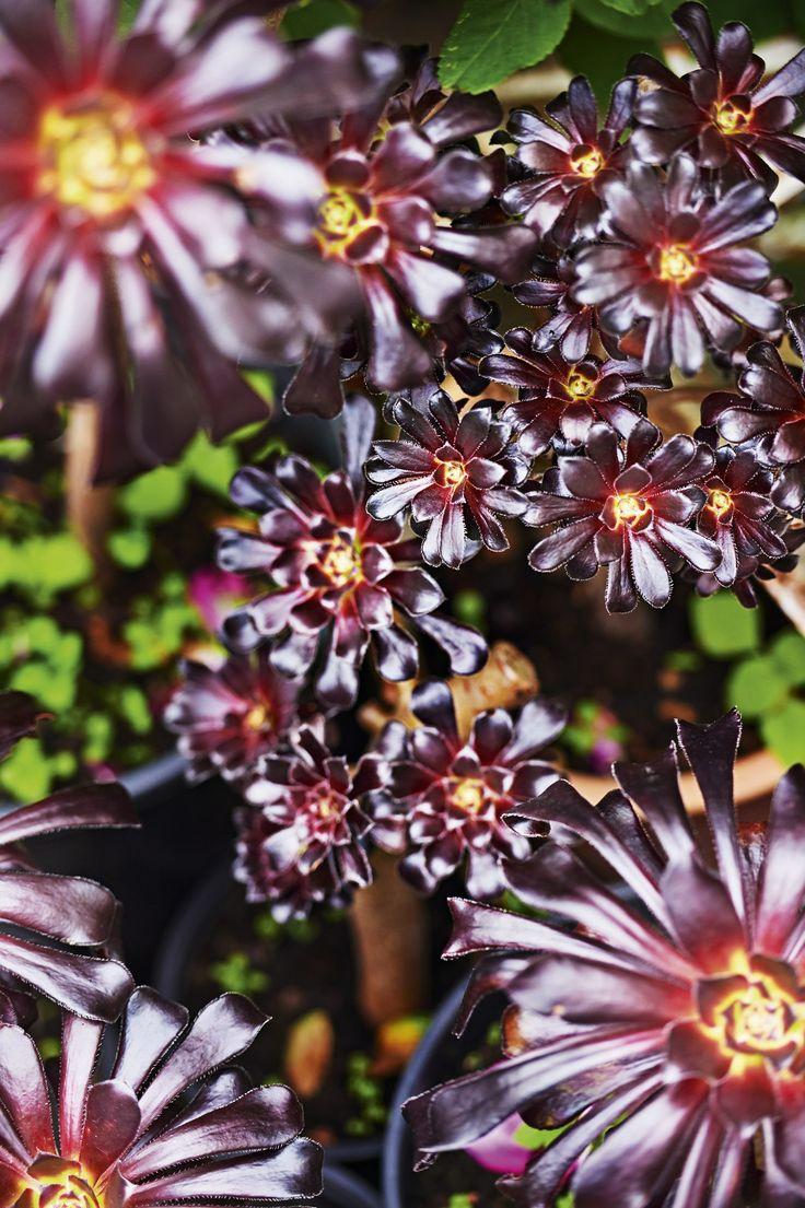 """De højstammede, sortviolette husløg med det pompøse navn Aeonium arboreum """"Schwartzkopf"""" lyser op med deres smukke dybrøde blade. BoBedre.dk"""