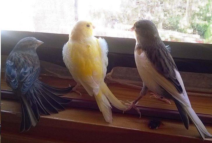 Fakta Unik Burung Kenari Jarang Orang Ketahui Dan Budidaya Serta Gambar Kenari Paling Lucu Dan Cantik
