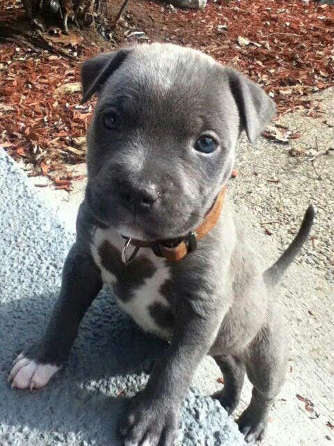 143 Best Pitbulls Images On Pinterest