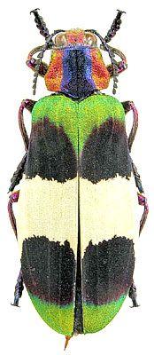 Exotic Jewel Beetle Demochroa corbetti (Kerremans, 1893)  (Buprestidae) Thailand