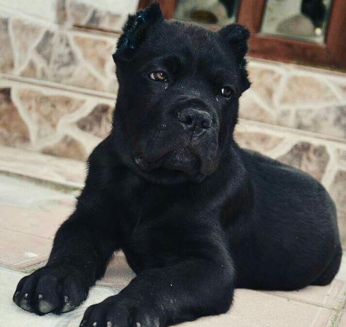 Cane Corso puppy, Thor.
