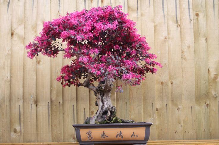 Loropetalum Bonsai, Loropetalum Bonsai Suppliers and Manufacturers ...