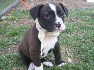 A027931 is in danger at Norco is an adoptable American Bulldog Dog in Beverly Hills, CA. *PONYO-ID#A027931 Shelter staff named me PONYO. I am a female, black and white American Bulldog and Boxer. Th...
