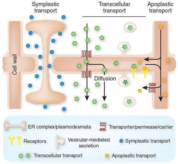 Transcellular transport involves the transportation of solutes by a cell through a cell. One classic example is the movement of glucose from the intestinal lumen to extracellular fluid by epithelial cells.Epithelial cells use primary and secondary active transport, often in conjunction with passive...