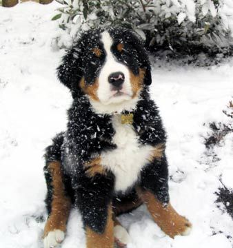 Bernese mountain dog puppy in their favorite thing...snow
