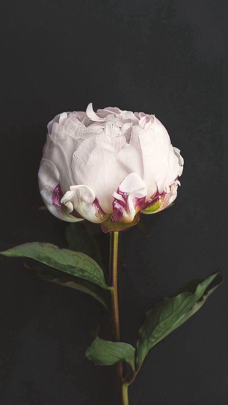 Flower White Dark Nature #iPhone #7 #wallpaper